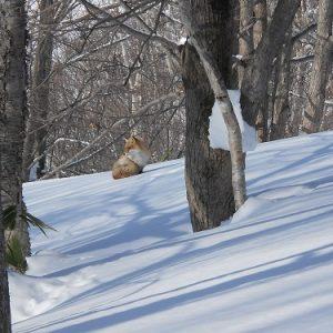 冬山のキタキツネ